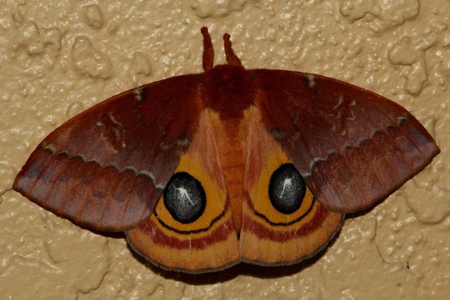 Io Photograph - Io Moth by April Wietrecki Green
