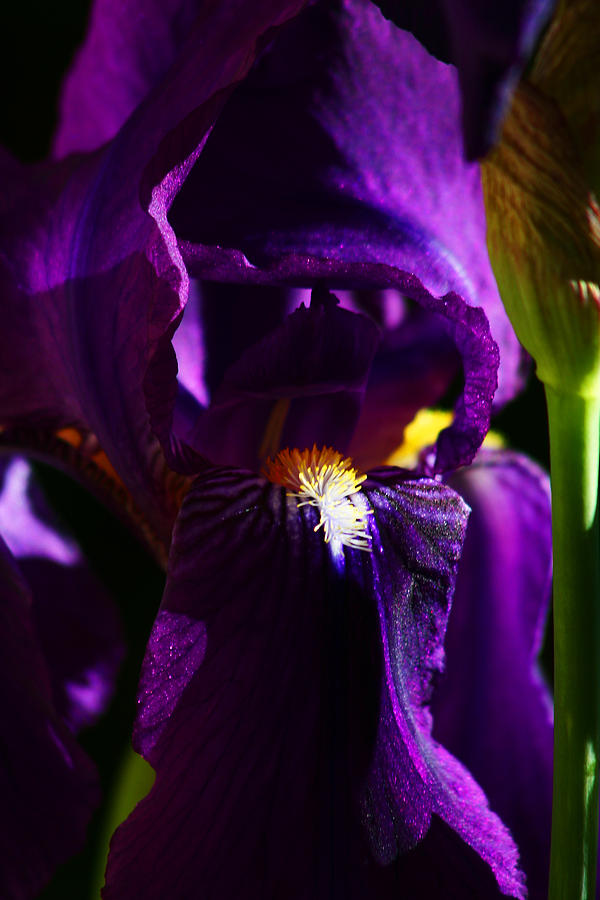 Flower Photograph - Iris by Anthony Jones