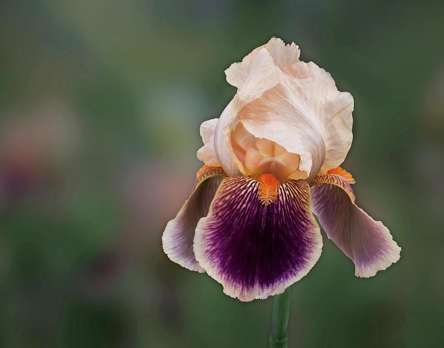 Iris Photograph - Iris Curls by Joy Schmitz