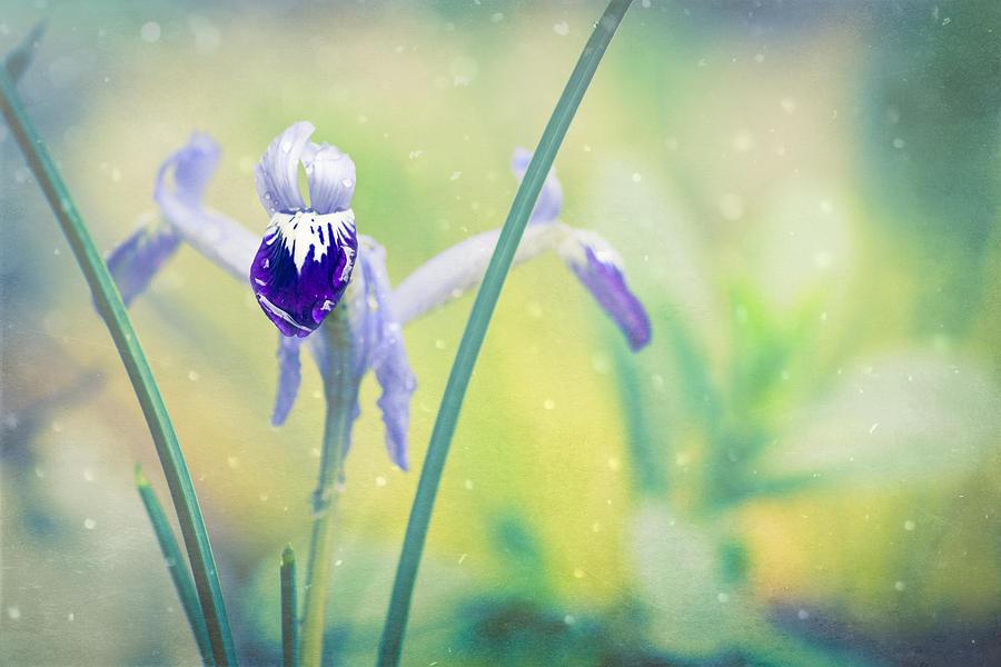 Iris Dreams - Iris Reticulata by Priya Ghose
