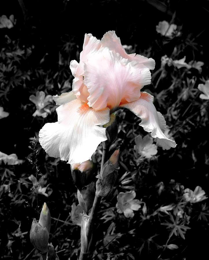 Flower Photograph - Iris Emergance by Steve Karol