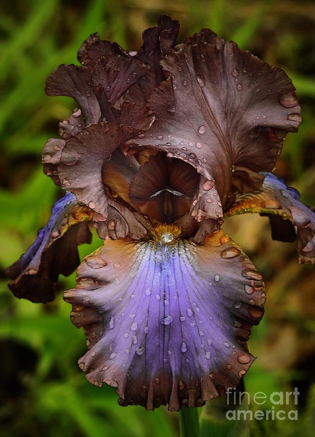 Iris  by Eunice Miller