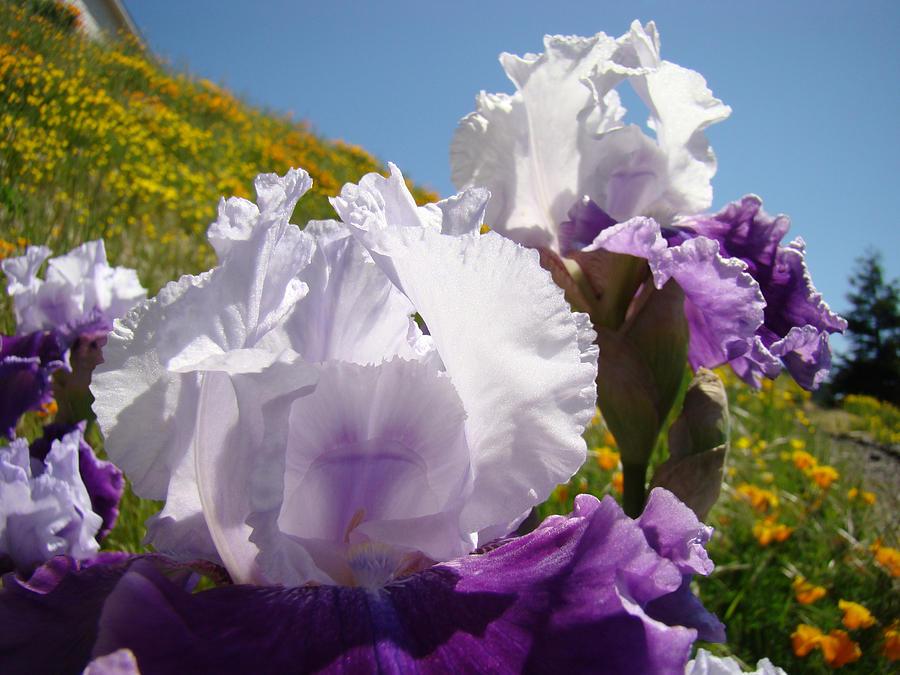 Iris Flowers Purple White Irises Poppy Hillside Landscape Art Prints Baslee Troutman Photograph by Baslee Troutman