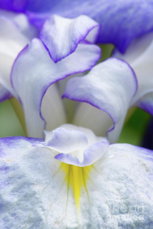 Aiken Photograph - Iris Folds by Steven Dillon