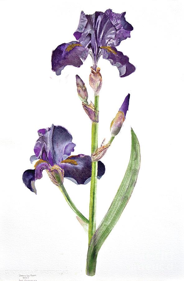 Iris Painting - Iris Germanica Species 1 by Dianne Green