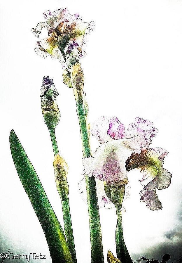 Iris Photograph