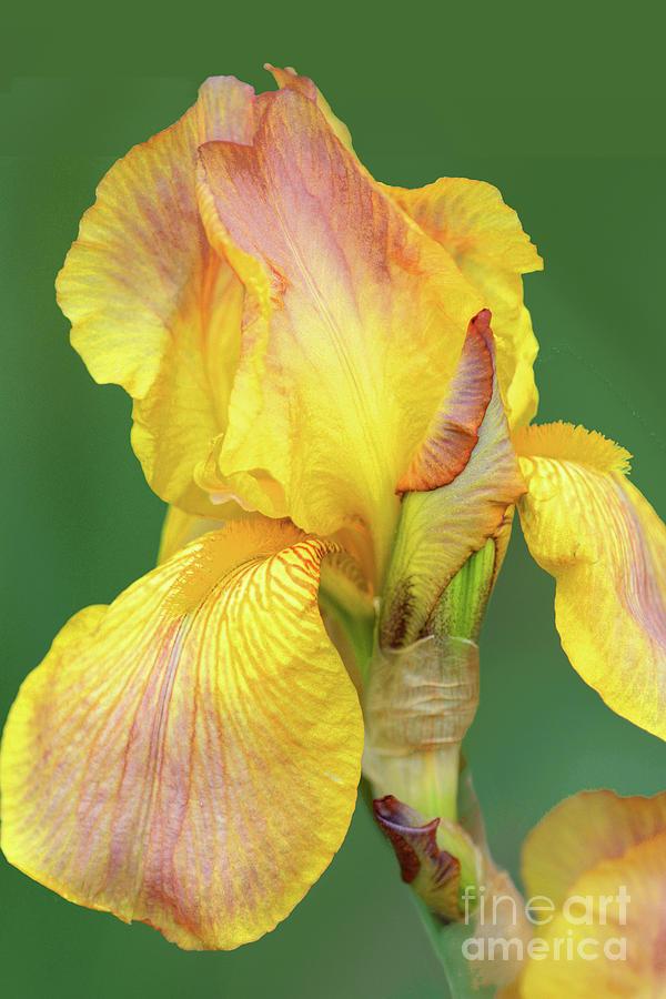 Iris - Prelude Photograph