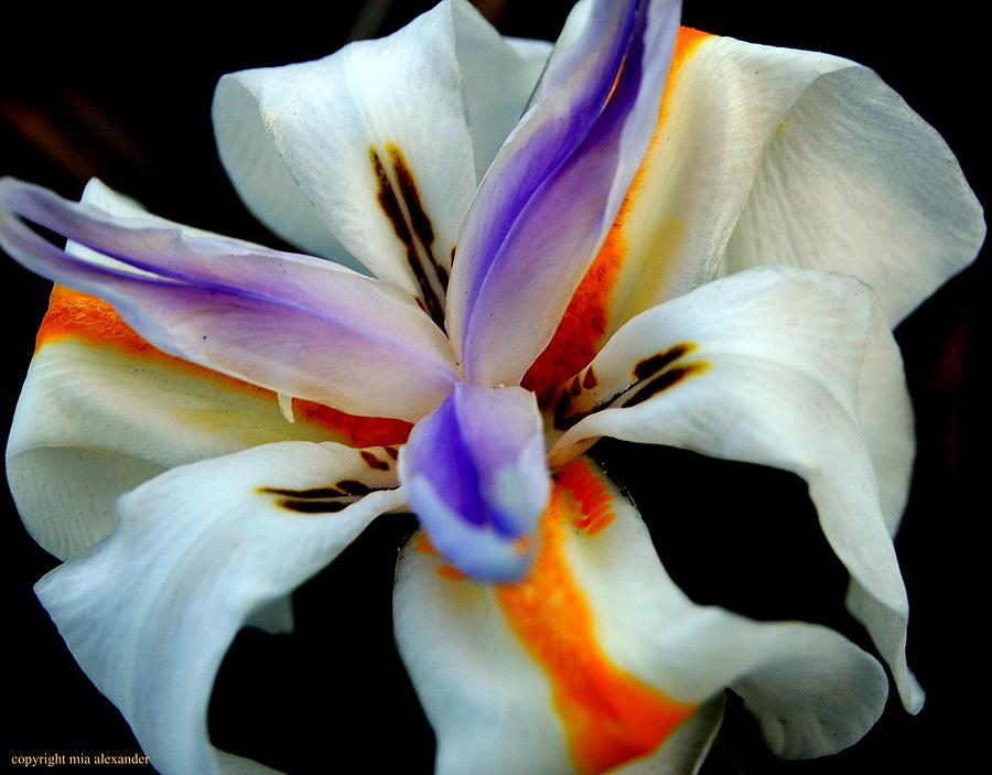 Iris iii by Mia Alexander
