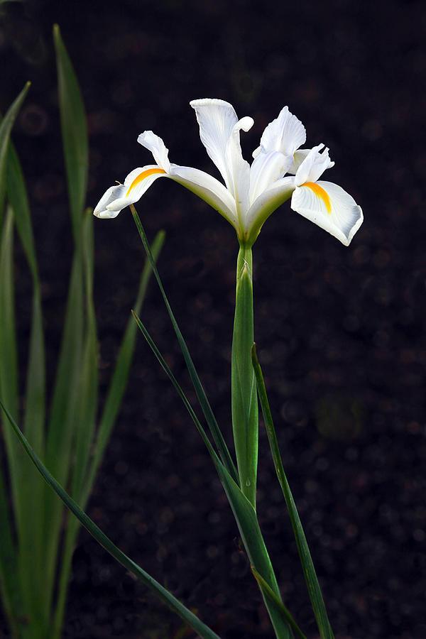 Iris In My Glory Photograph by James Steele