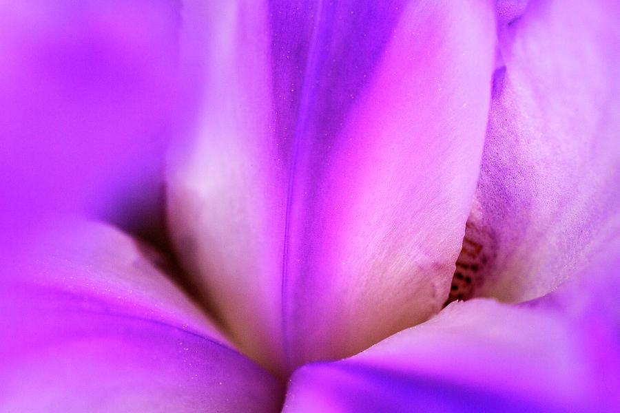 Iris In Silk Photograph