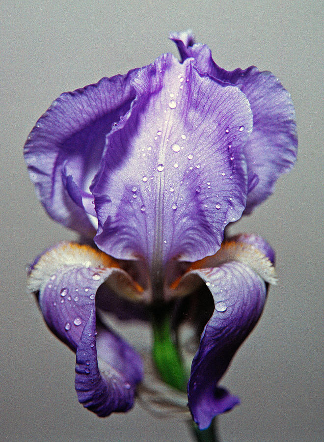 Iris Photograph - Iris In The Rain by Paul  Trunk