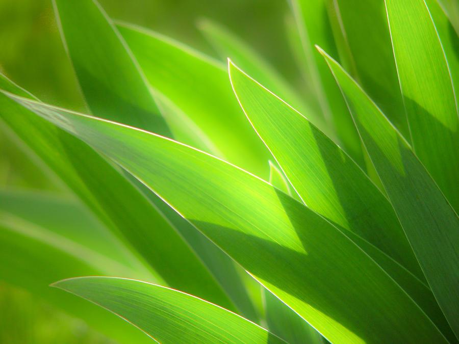 Iris Photograph - Iris Leaves by Utah Images