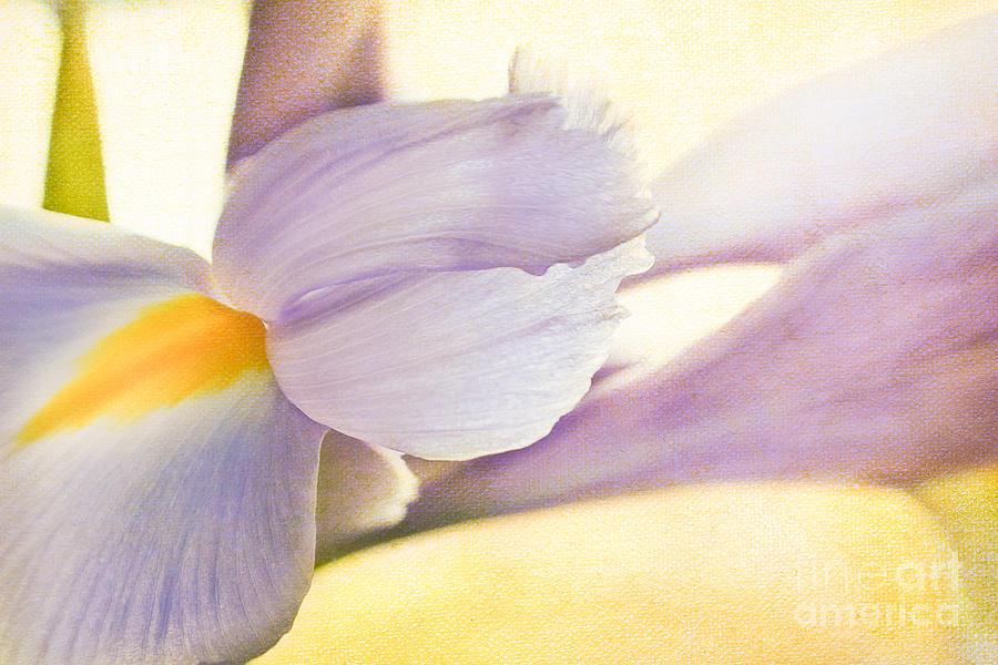 Iris Photograph - Iris by Lisa McStamp