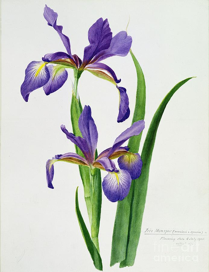 Flower Painting - Iris Monspur by Anonymous
