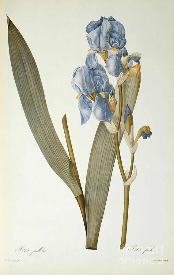 Iris Painting - Iris Pallida by Pierre Joseph Redoute