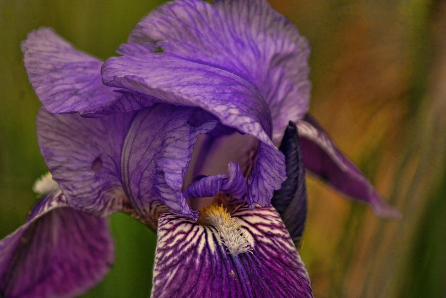 Flowers Photograph - Iris Popping Out by Rick Friedle