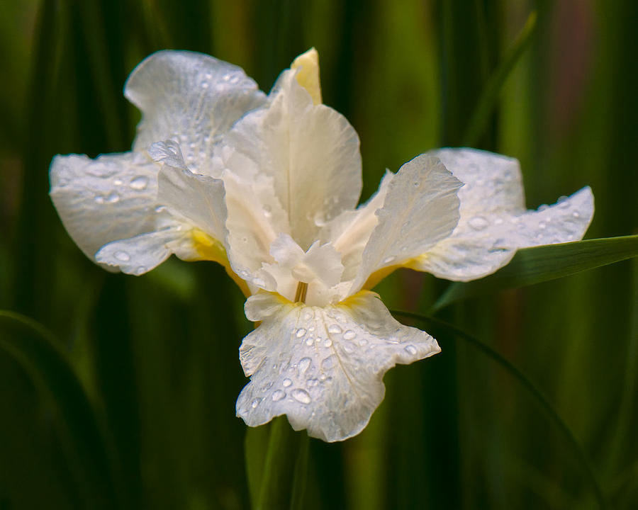 Microphotography Photograph - Iris Purity by Michael Putnam
