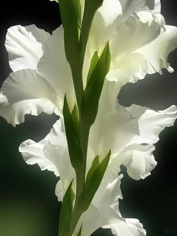 Gladiolus Photograph - Gladiolus Spectacular #2 by David Diethelm