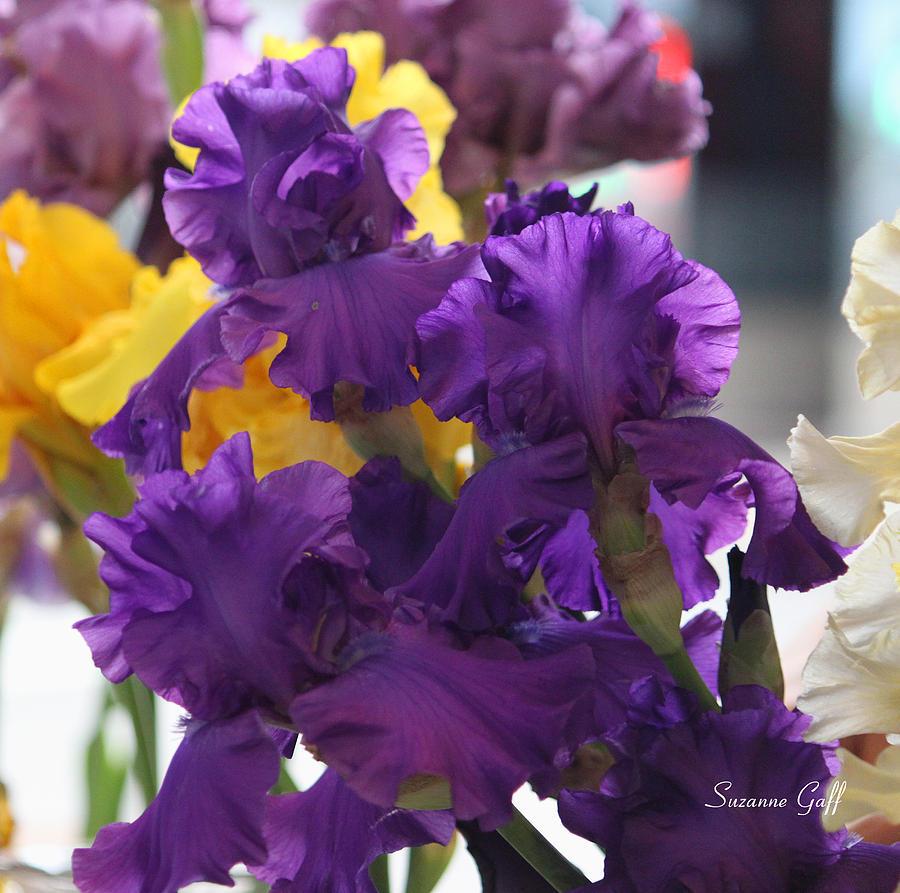 Iris Photograph - Iris Study by Suzanne Gaff