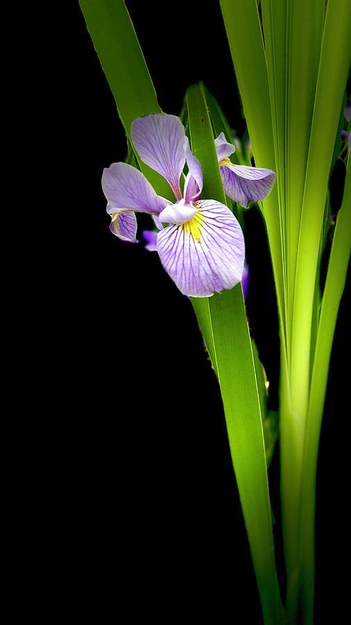 Iris Via Iphone Photograph