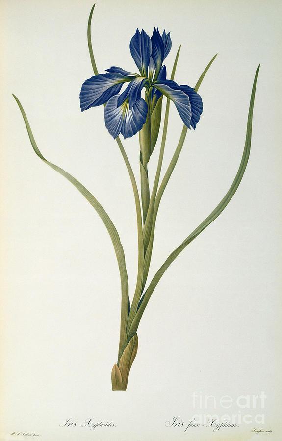 Iris Painting - Iris Xyphioides by Pierre Joseph Redoute