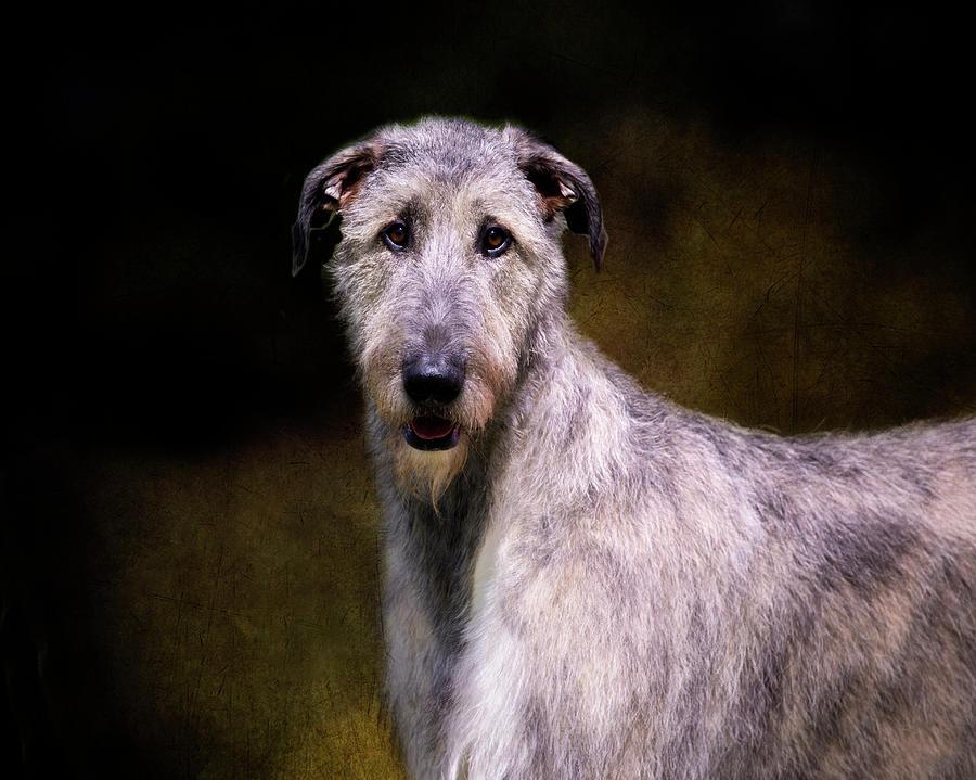 Irish Wolfhound Portrait by Diana Andersen