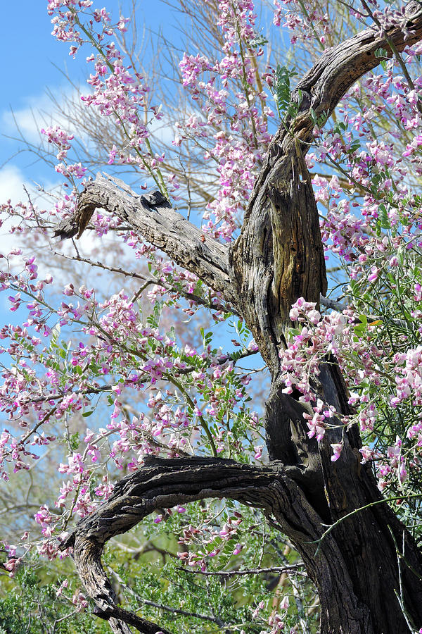 Ironwood In Bloom Photograph