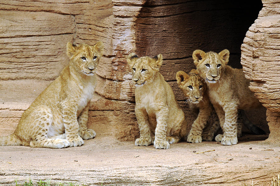 Lion Photograph - Is It Still There by Keith Lovejoy
