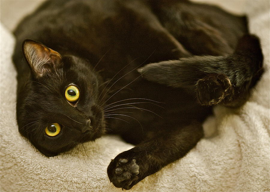 Black Cat Photograph - Is It Time For A Belly Rub by Robert Joseph