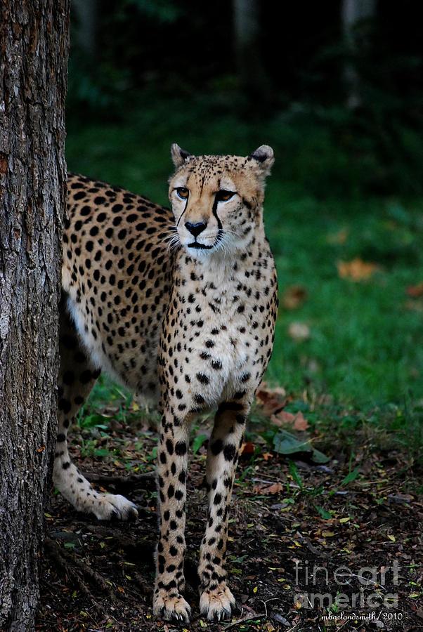 Cheeta Photograph - Is That Dinner  by Michelle  BarlondSmith