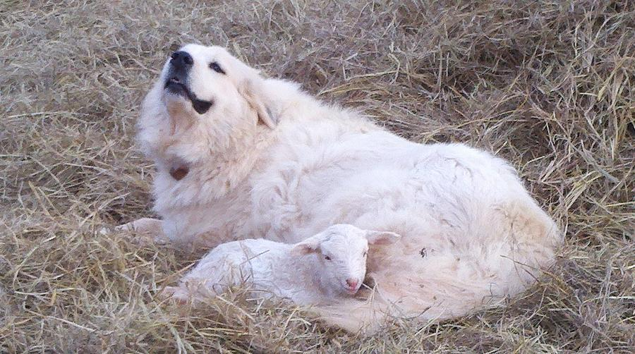 Great Pyrenees Dog Photograph - Isabel and Molly 2 by Ginger Concepcion