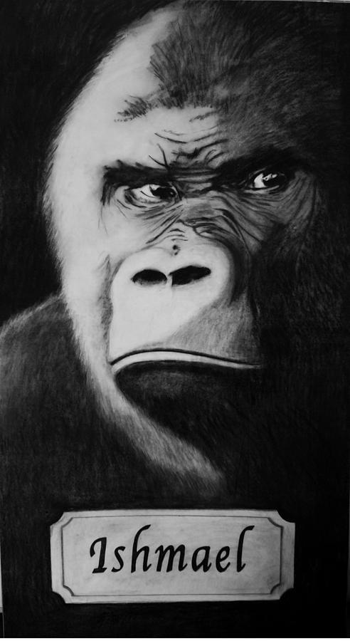 Gorilla Drawing - Ishmael by Elizabeth Comay