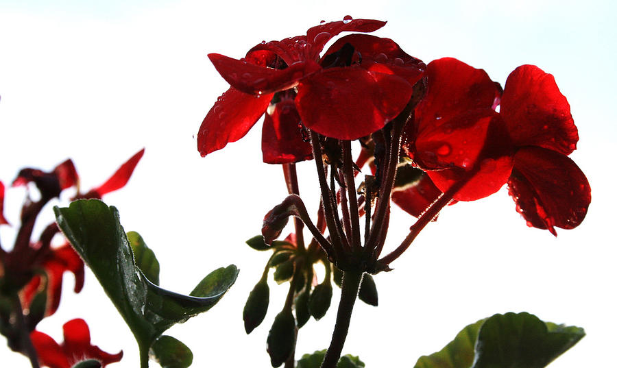 Red Photograph - Isolated Red Geranium by Karen Fowler
