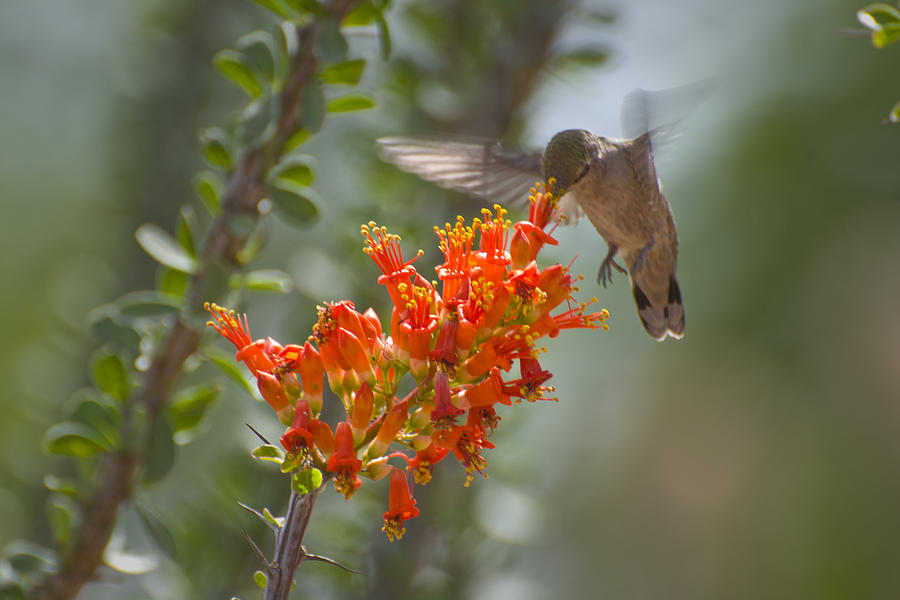 Hummingbird Photograph - It Hums as it Eats by Richard Henne
