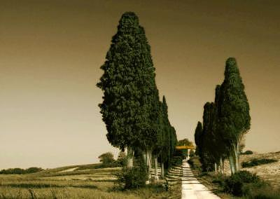 Italian Cypresses In Tuscany Photograph by Jane Baron