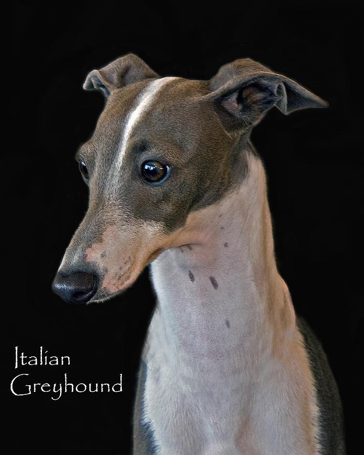 Italian Greyhound Photograph - Italian Greyhound by Larry Linton
