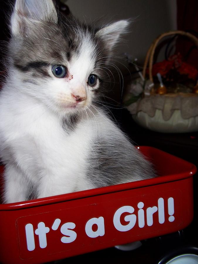 Kitten Photograph - Its A Girl by Janell Calori