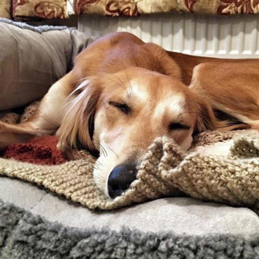Saluki Photograph - Its Been A Hard Day...  #saluki by John Edwards