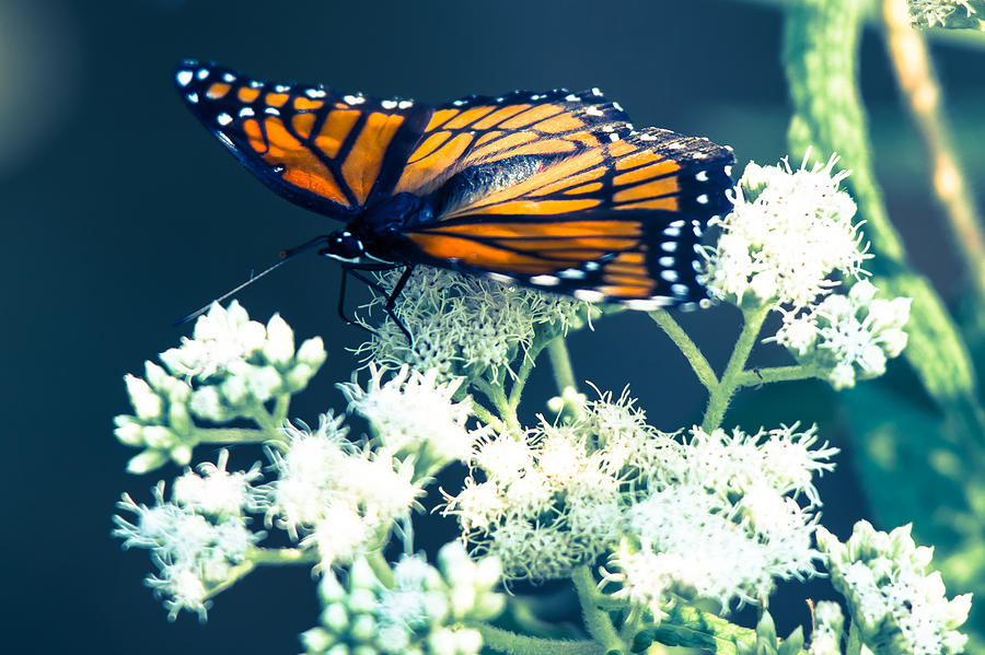 Viceroy Butterfly Photograph - Its Been Awhile  by Kristin Hunt