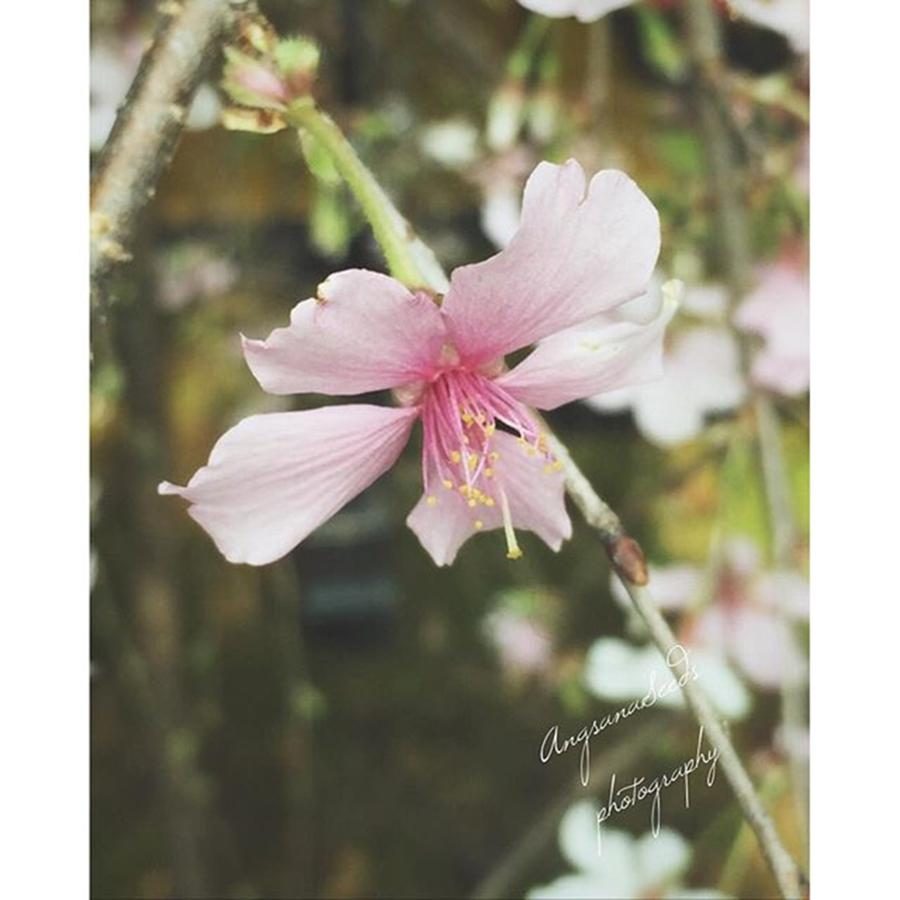 Singapore Photograph - Its Cherry Blossom Season! #igtravel by Ivy Ho