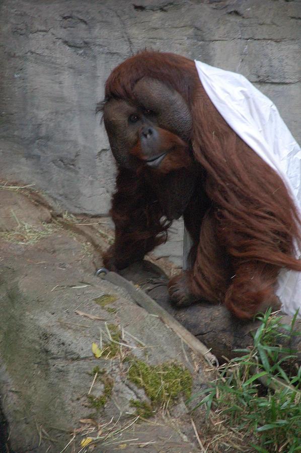 Orangutan Photograph - Its Cold Outside by HP Hwang