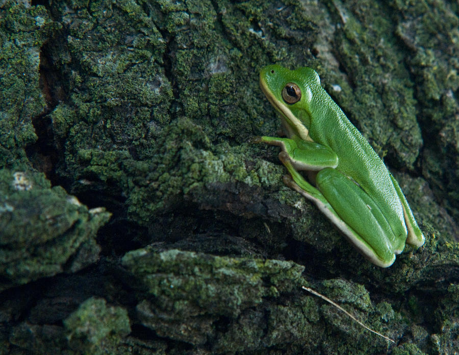 Frog Photograph - Its Hard To Be Green by Douglas Barnett