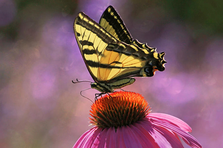 Swallowtail Photograph - Its Lonely At The Top by Donna Kennedy