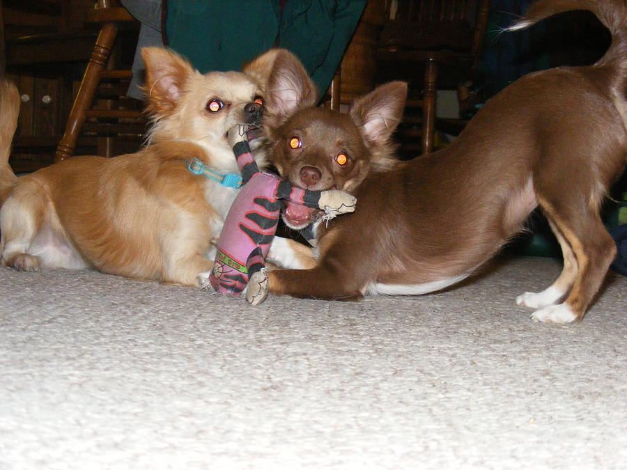Chihuahua Photograph - Its Mine by James and Vickie Rankin