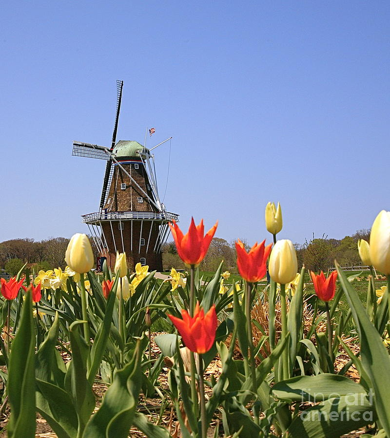 Tulips Photograph - Its Tulip Time by Robert Pearson