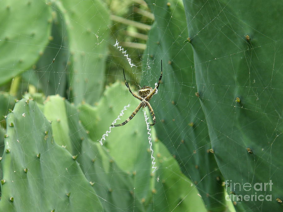 Cactus Photograph - Itsy Bitsy Spider by Lisa Raudy