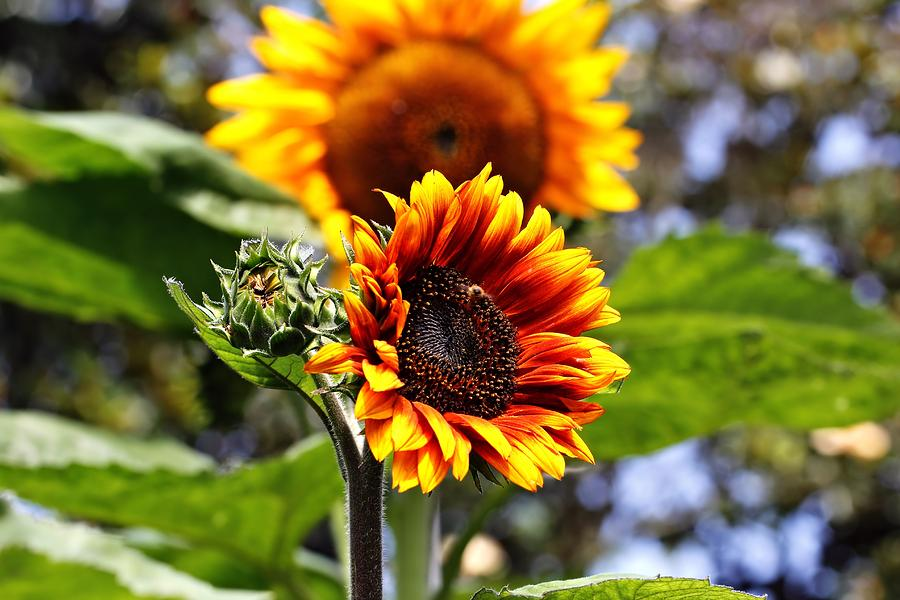 Sunflowers Photograph - Ive Got Your Back by Katherine White