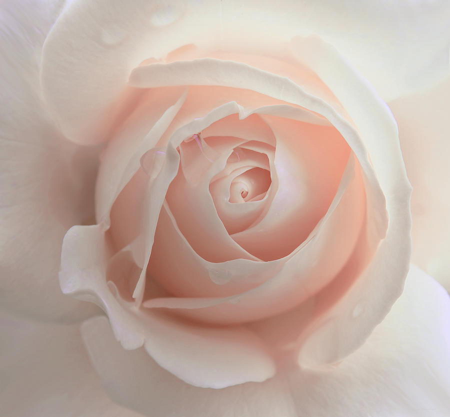 Rose Photograph - Ivory Peach Pastel Rose Flower by Jennie Marie Schell