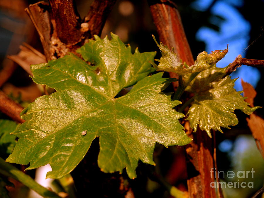 Ivy Photograph - Ivy Leaf by Michael Canning