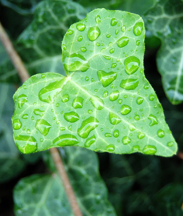 Plants Photograph - Ivy Leaf by Michael Peychich